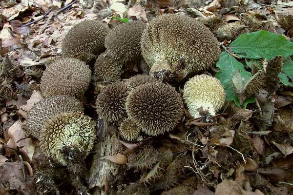 Lycoperdon echinatum Schaeff. (COMMESTIBILE) Foto Emilio Pini