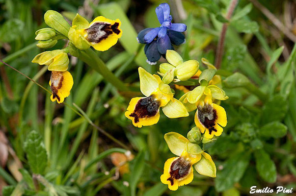 Ophrys lutea var minor