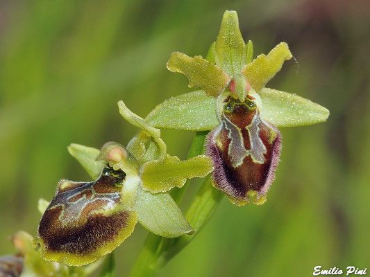 Ophrys maritima