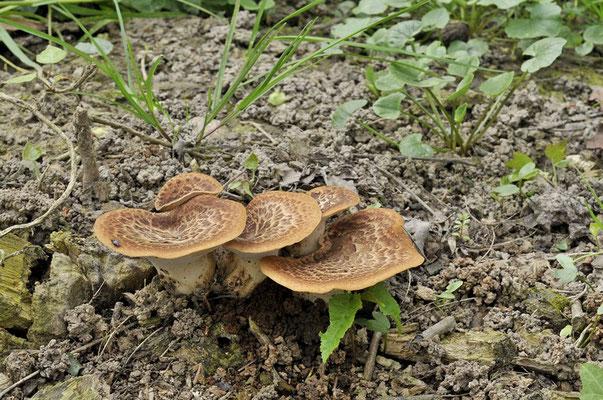 Polyporus squamosus (Huds.) Fr. 1821 (COMMESTIBILE) foto Emilio Pini