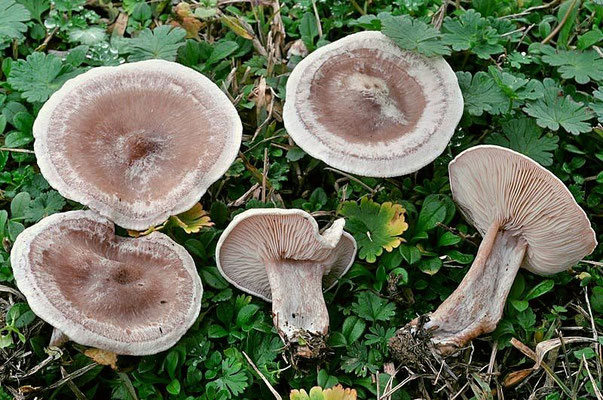 Clitocybe rivulosa (Pers.) P. Kumm. (VELENOSO)  Foto Emilio Pini