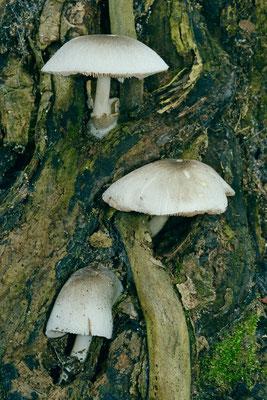 Volvariella murinella (Quél.) M.M. Moser (NON COMMESTIBILE) Foto Emilio Pini