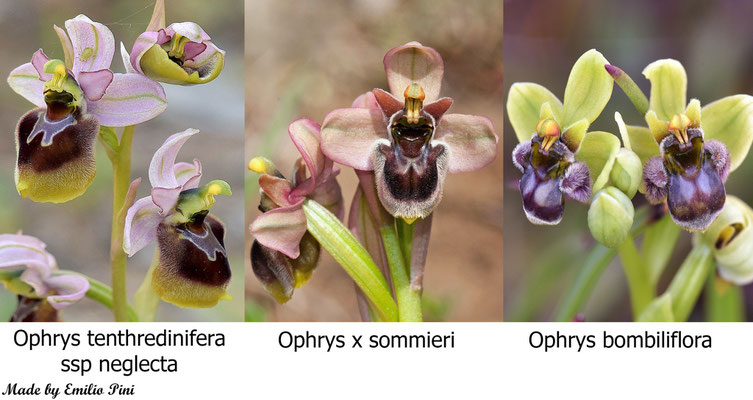 Ophrys tenthredinifera ssp neglecta x Ophrys bombiliflora