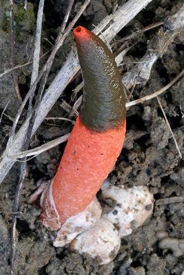 Mutinus elegans (Mont.) E. Fisch. 1888 (NON COMMESTIBILE) Foto emilio Pini