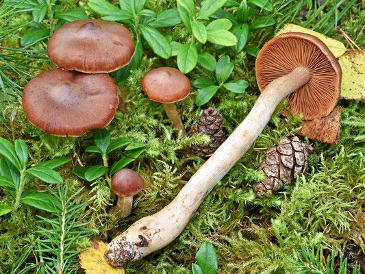 Cortinarius testaceofolius H. Lindstr. & Soop (NON COMMESTIBILE) Foto Emilio Pini