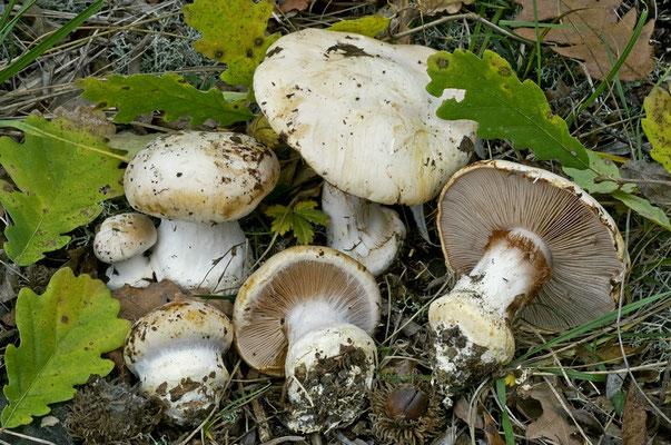 Cortinarius aleuriosmus Maire (COMMESTIBILE)  Foto Emilio Pini