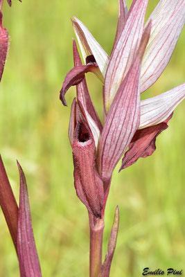 Serapias vomeracea subsp. longipetala