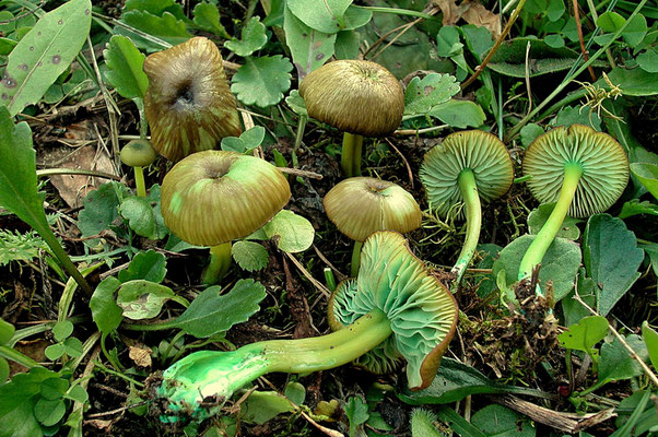 Entoloma incanum (Fr.) Hesler  (NON COMMESTIBILE)  Foto Emilio Pini