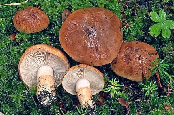 Tricholoma batschii Gulden (NON COMMESTIBILE) Foto Emilio Pini