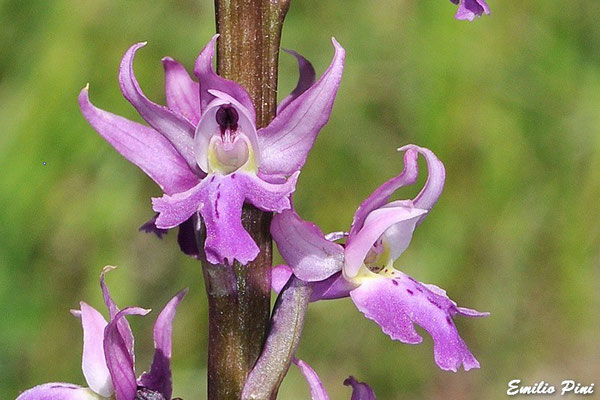 Orchis mascula ssp speciosa (Regione Emilia Romagna)