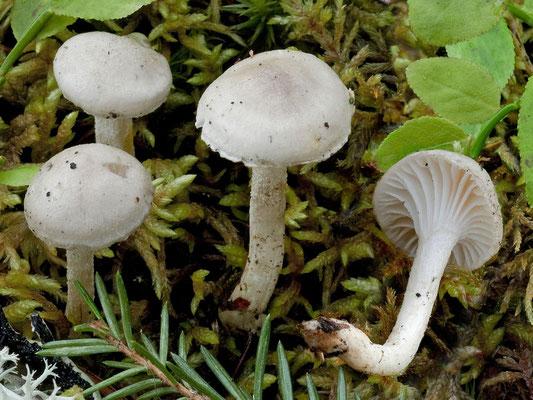 Hygrophorus odoratus A.H. Sm. & Hesler (COMMESTIBILE) Foto Emilio Pini
