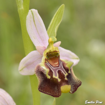 Ophrys cinnabarina