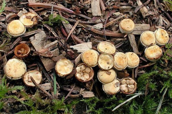 Crucibulum laeve (Huds.) Kambly  (NON COMMESTIBILE)  Foto Emilio Pini