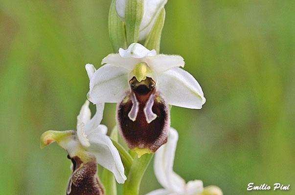 Ophris exaltata subsp montis leonis