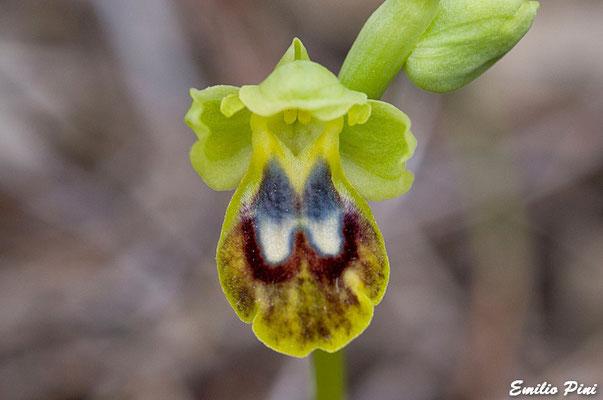 Ophrys fusca subsp marmorata (Regione Toscana-Elba)