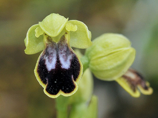 Ophrys ortuabis