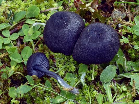 Entoloma chalybaeum (Pers.) Noordel. (NON COMMESTIBILE) Foto Emilio Pin