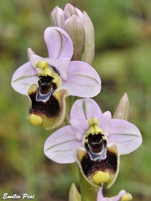 Ophrys tentredinifera    Sicilia
