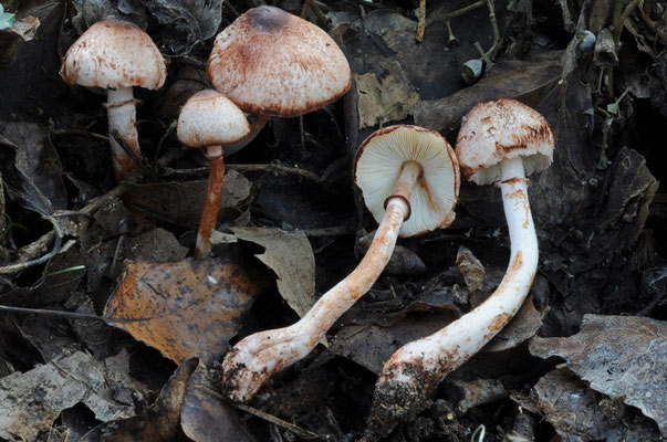 Leucoagaricus croceovelutinus (Bon & Boiffard) Bon (NON COMMESTIBILE) Foto Matteo Carlo Morosini