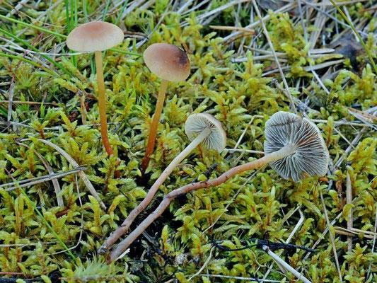 Hypholoma ericaeum (Pers.) Kühner (NON COMMESTIBILE) Foto Emilio Pini