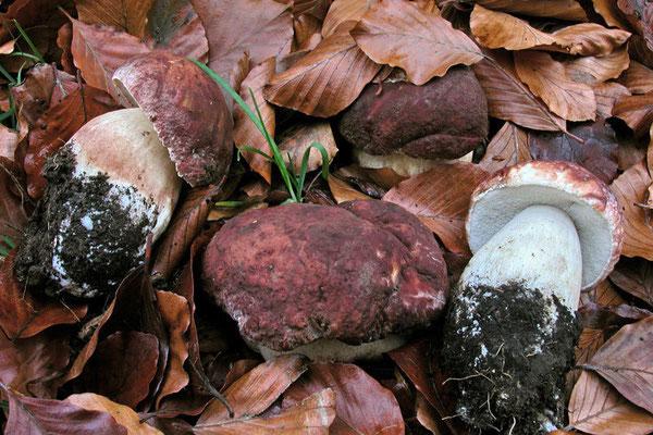Boletus pinophilus Pilat & Dermek (COMMESTIBILE) Foto Emilio Pini