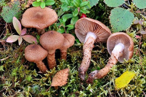 Cortinarius pholideus (Lilj.) Fr (NON COMMESTIBILE)  Foto Emilio Pini