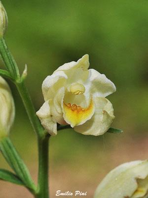 Cephalanthera damasonium (Regione Emilia Romagna)