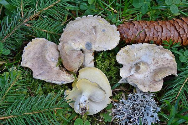 Albatrellus subrufescens (Murrill) Pouzar  (NON COMMESTIBILE)  Foto Emilio Pini