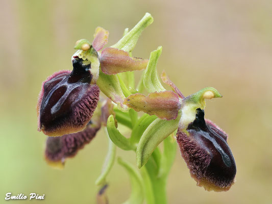 Ophrys gravinensis
