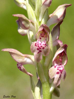 Anacamptis coriophora subsp fragrans