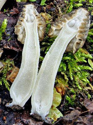 Mitrophora semilibera (DC.) Lév. (COMMESTIBILE) Foto Emilio Pini