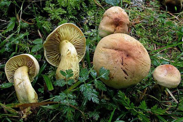 Tricholoma bufonium (Pers.) Gillet 1874 (NON COMMESTIBILE) Foto Emilio Pini