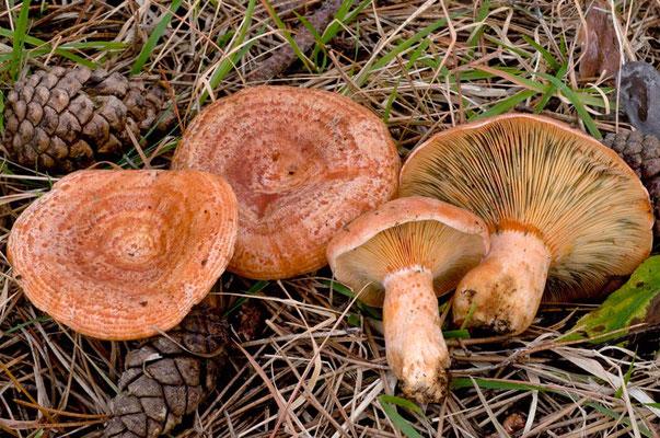 Lactarius deliciosus (L.) Gray (COMMESTIBILE) Foto Emilio Pini