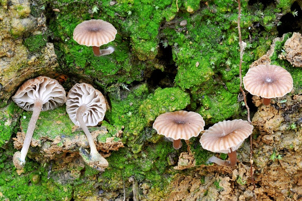 Phytoconis velutina (Quél.) Redhead & Kuyper 1988 (NON COMMESTIBILE) foto Emilio Pini