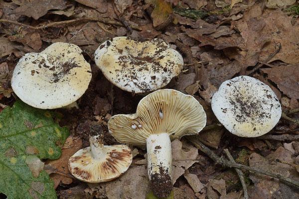 Lactifluus brunneoviolascens (Bon) Verbeken (NON COMMESTIBILE)  Foto Emilio Pini