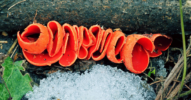 Sarcoscypha coccinea (Jacq.) Sacc. 1889 (NON COMMESTIBILE) Foto Emilio Pini