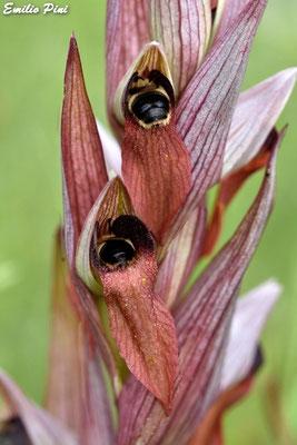 Serapias vomeracea (Regione Liguria)