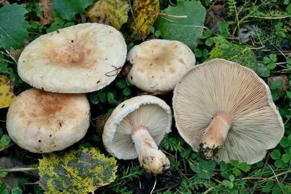 Lactarius pubescens Fr. (NON COMMESTIBILE) Foto Emilio Pini