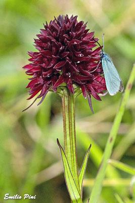 Nigritella rhellicanii