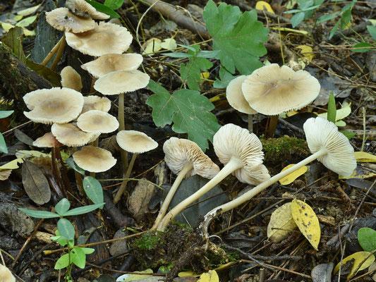 Mycena galericulata (Scop.) Gray 1821  (NON COMMESTIBILE) Foto Emilio Pini