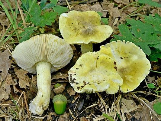 Tricholoma sejunctum (Sowerby) Quél (NON COMMESTIBILE) Foto Emilio Pini