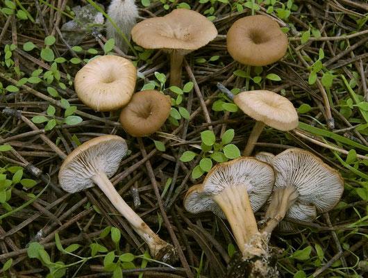 Lentinellus micheneri (Berk. & M.A. Curtis) Pegler (NON COMMESTIBILE) Foto Emilio Pini