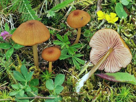 Entoloma formosum (Fr.) Noordel. (NON COMMESTIBILE)  Foto Emilio Pini