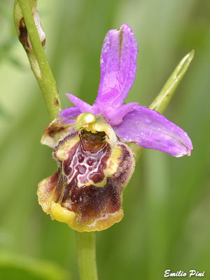Ophrys gracilis