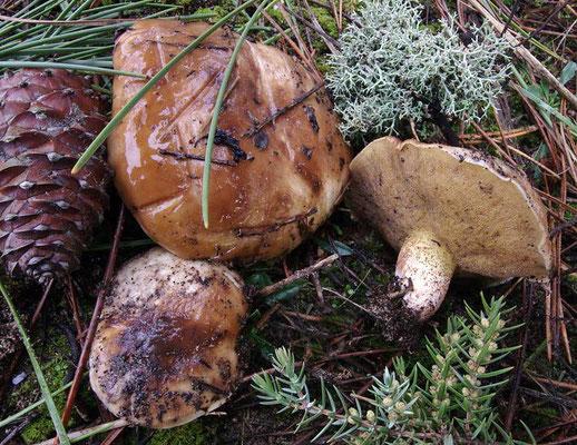 Suillus bellinii (Inzenga) Kuntze 1898 (COMMESTIBILE) Foto Emilio Pini