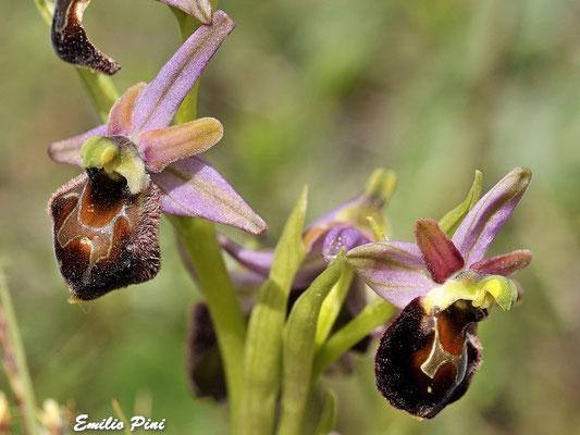 Ophrys exaltata ssp morisii
