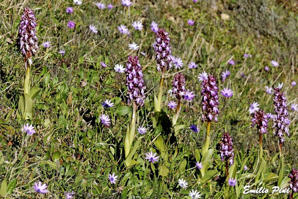 Himantoglossum robertiamnum