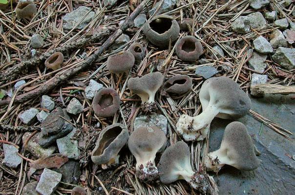 Helvella leucomelaena (Pers.) Nannf. (NON COMMESTIBILE)  Foto Emilio Pini