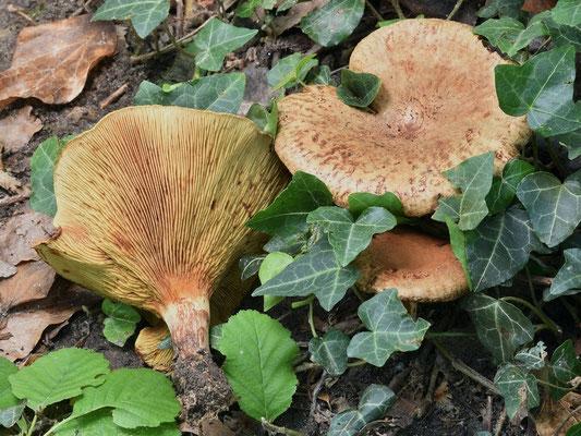 Paxillus rubicundulus P.D. Orton 1969 (VELENOSO) Foto Emilio Pini