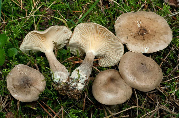 Clitocybe clavipes (Pers.) P. Kumm. (COMMESTIBILE)  Foto Emilio Pini